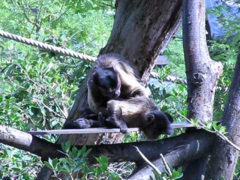 Singe qui chasse les poux de son congénère au parc zoologique de vincennes