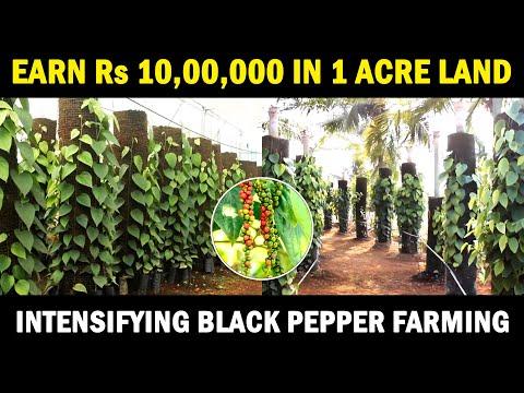 Intensifying Black Pepper Farming | Vertical Column Black Pepper Cultivation