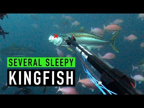 SPEARFISHING - Several Sleepy Kingfish