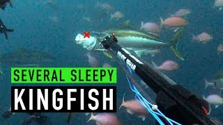 SPEARFISHING - Several Sleepy Kingfish