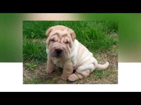 Shar Pei dogs - They are the weird dogs with wizen body