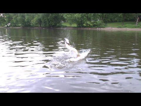Topwater Fox River Muskies