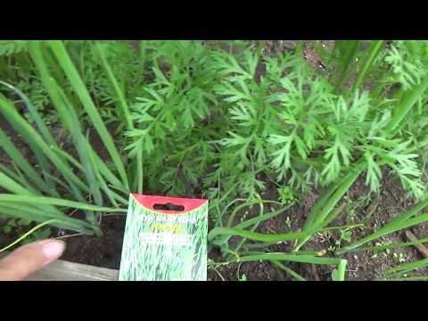 Вопрос: В какие сроки и как посеять лук Параде на зелень в средней полосе РФ?