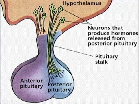Image result for pituitary structure and location