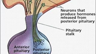 Structure & Function of Pituitary Gland