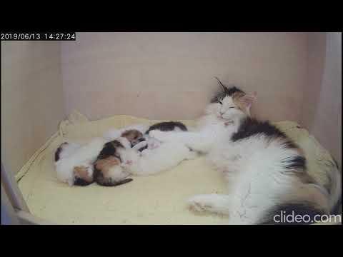 ღ Kittens of Merlin & Tilly ღ Norwegian Forest Cats ღ Norvég Erdei Macskák ღ
