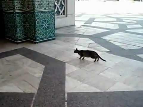 قطة عفريتة-Cat catchs a pigeon - Katze & Traube Mosque Casablanca, Morocco
