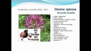 Tuto jardin: Cleome spinosa Senorita rosalita: plante annuelle:  fiche technique plante annuelle