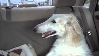 Dogs sing the Tchaikovsky violin concerto (borzoi)