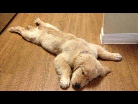 Funny Golden Retriever Puppies videos - Compilation 2017