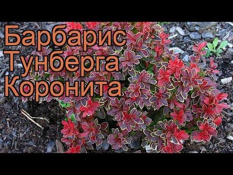 Барбарис тунберга Коронита (coronita) 🌿 обзор: как сажать, саженцы барбариса Коронита