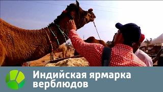 Индийская ярмарка верблюдов | Живая Планета