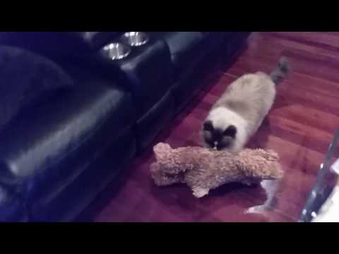 Valentino Walking His Bear - PoathCats / PoathTV / Floppy Ragdoll Cats