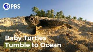 Watch Tiny Turtles Tumble Towards the Sea