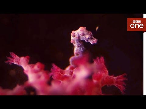 Can you spot the tiny seahorses? - Super Small Animals - BBC One