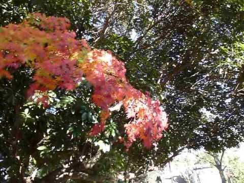 live in tokyo japan nerima-ku shakujii park 紅葉 1050326