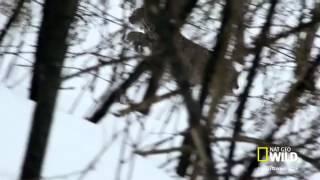 Vaşak dağda tavşan avında