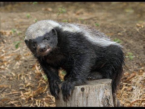 San Diego Zoo Kids - Honey Badger