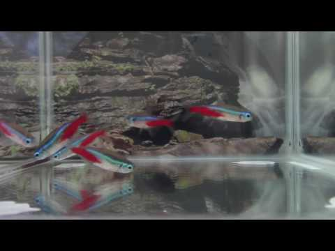 Neon Tetra Breeding Techniques