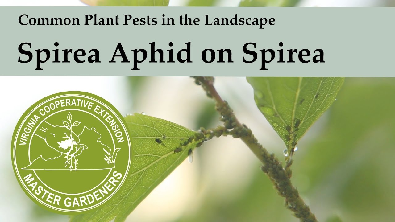 Spirea Aphid - Common Plant Pests in the Landscape and Garden