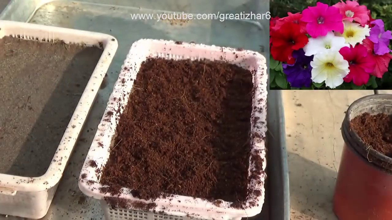 How to grow petunia from seeds - How To Plant Petunia Seeds How To Grow Pansy From Seeds November 2016 Urdu Hindi