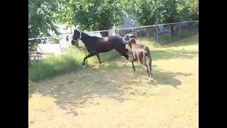 Horse Gelding VS Donkey Stallion