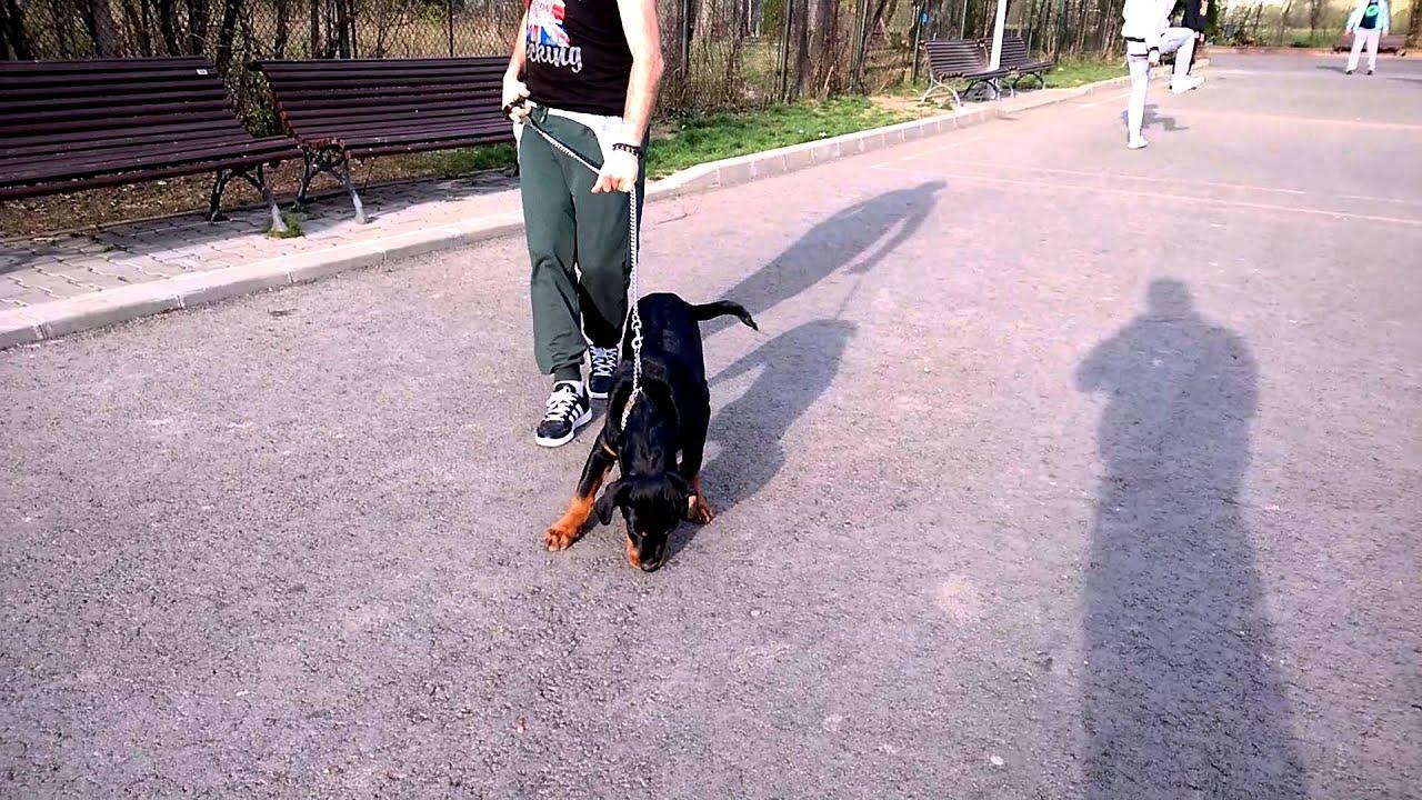 pierderea în greutate în rottweiler)