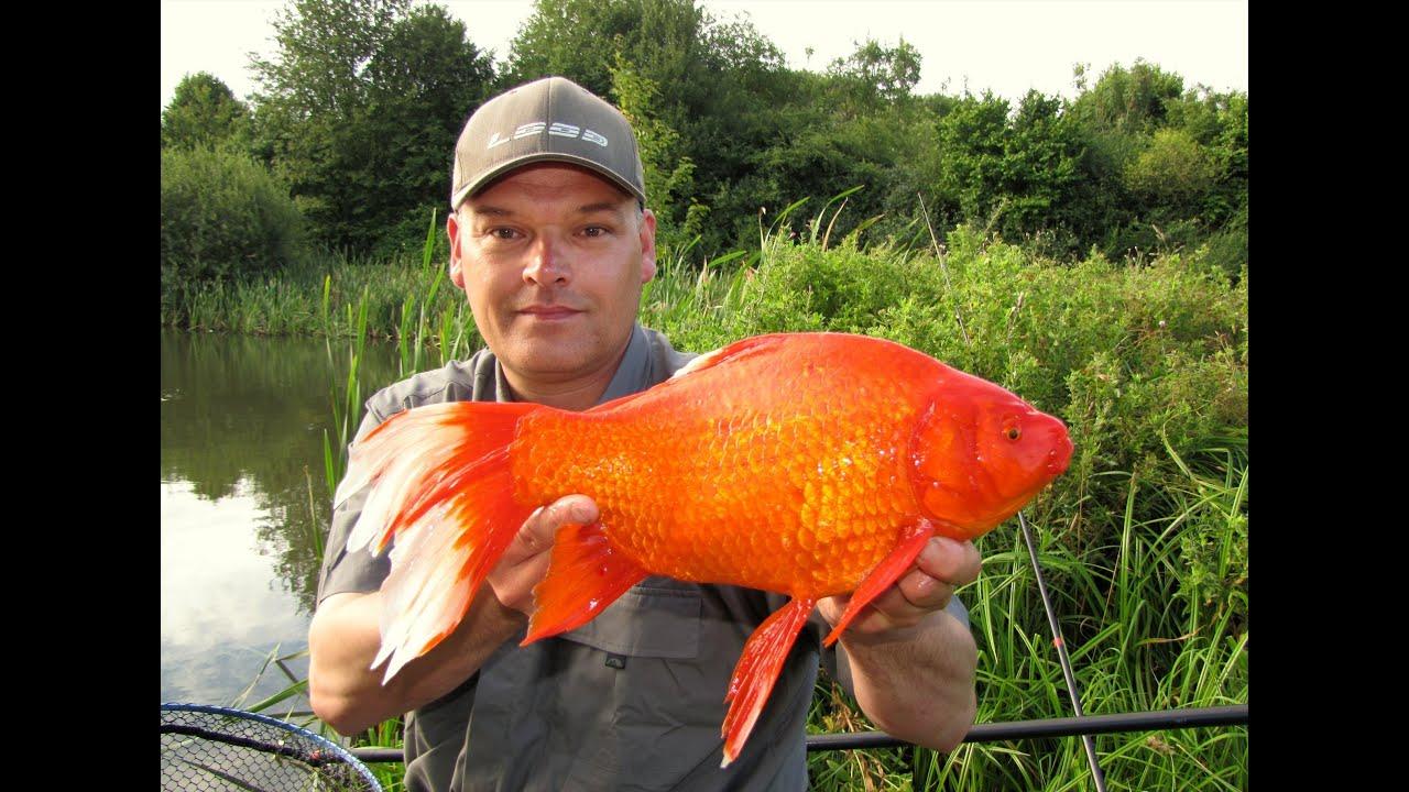 Goldfish Monster Xxl Gold Crucian Carp  Gold Edition -4848