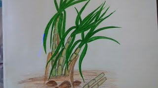 How to draw sugarcane in easy way