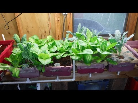 Indoor Aquaponics Vs Kratky Hydroponics Ep 3