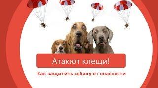 Бабезиоз (Пироплазмоз) собак - или чем опасны клещи вашему любимцу