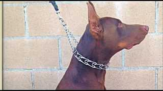 Doberman Pinschers Puppies For Sale Los Angeles California