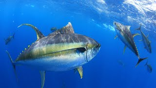 Spearing Monster Yellowfin Tuna {Helping FEED Hurricane ETA Victims} Guatemala