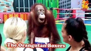 Take a photo with the Orangutan boxers
