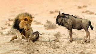 Mother Wildebeest Feel So Impotent When Her Baby Fail To Escape From Lion