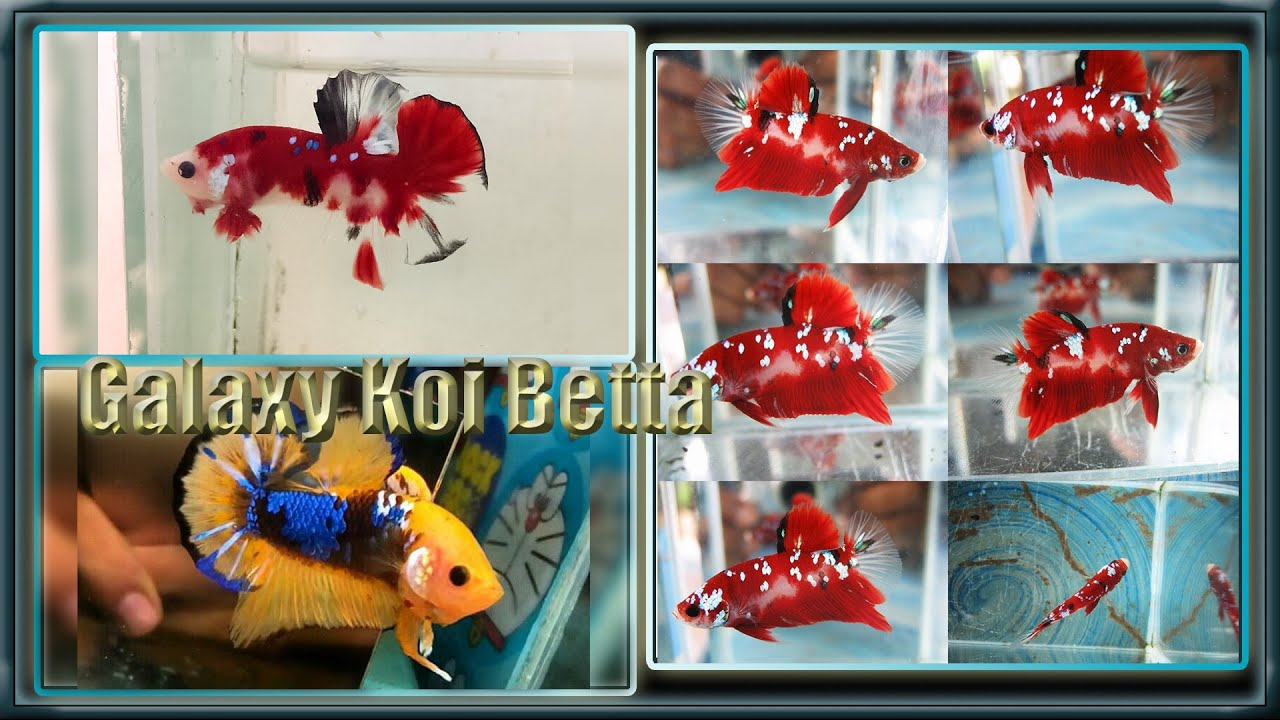 Betta Koi Fish - YouTube