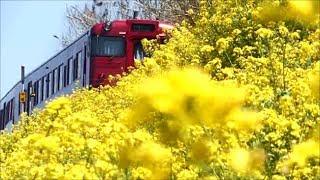 下灘は春・閏住の菜の花 JR四国 伊予灘ものがたり