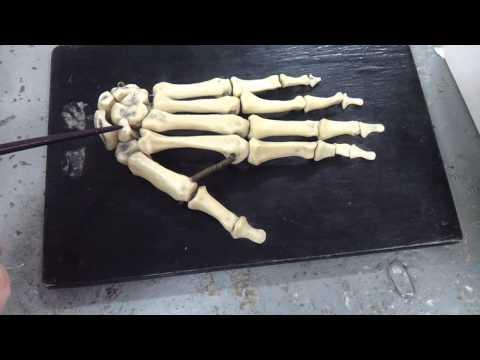 Кости кисти. Строение кисти. Анатомия. Урок 2