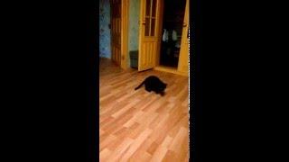 Кошка бегает за мячиком как собачка