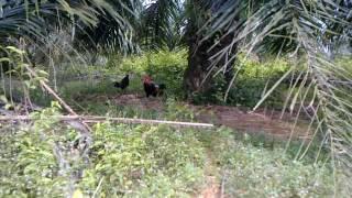 Download Video Ayam hutan helang 54 MP3 3GP MP4