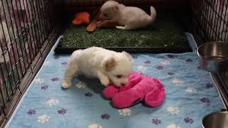 Coton de Tulear Puppies For Sale - Kaley 5/26/21