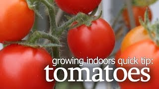Growing Tomatoes Indoors- Quick Tip