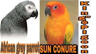 SIYYAD FAZAL MAHMOOD  BHAI KE AFRICAN GREY AND SUN CONURE BIRDS . AHMDABAD GUJARAT.