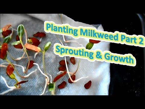 Planting Milkweed Part 2 - Sprouting & Growth (Help The Monarch Butterfly)