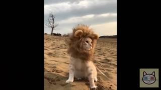 Смешные коты в костюмах. Подборка март 2017. | Funny cats in costumes. A selection of March 2017.