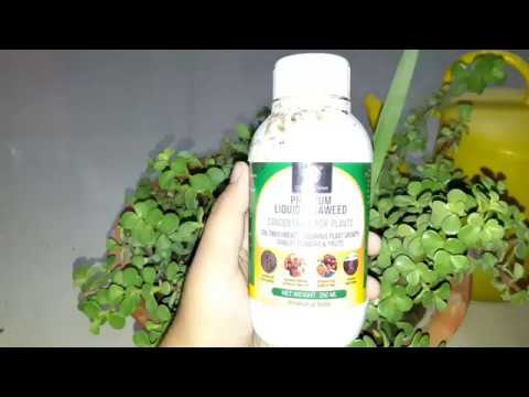 Seaweed Fertilizer || How to Use Seaweed Fertilizer to Boost Plant Growth || सीवीड फ़र्टिलाइज़र
