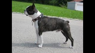Boston Terrier History And Information