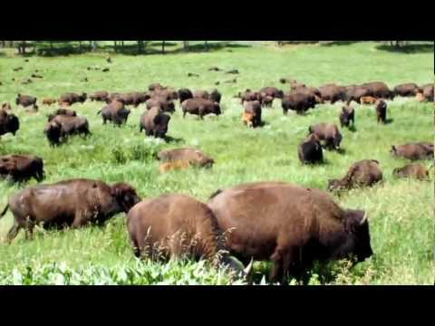 Buffalo Herds at Custer State Park