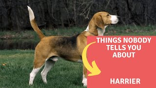 Dogs: Harrier Dog Breed Information And Personality