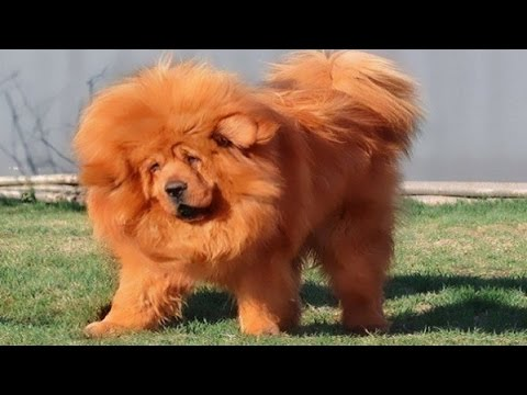 top-10-most-expensive-dog-breeds-in-the-world---facts-and-benefits